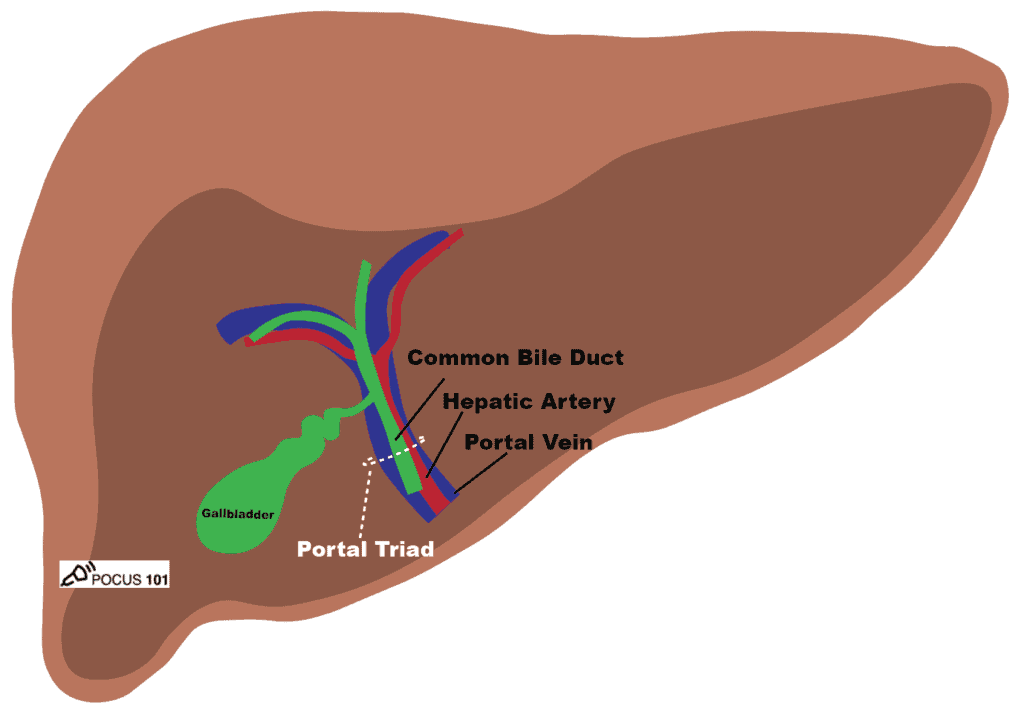 Abdominal Ultrasound Portal Triad - Common Bile Duct, Hepatic Artery, Portal Vein, Gallbladder