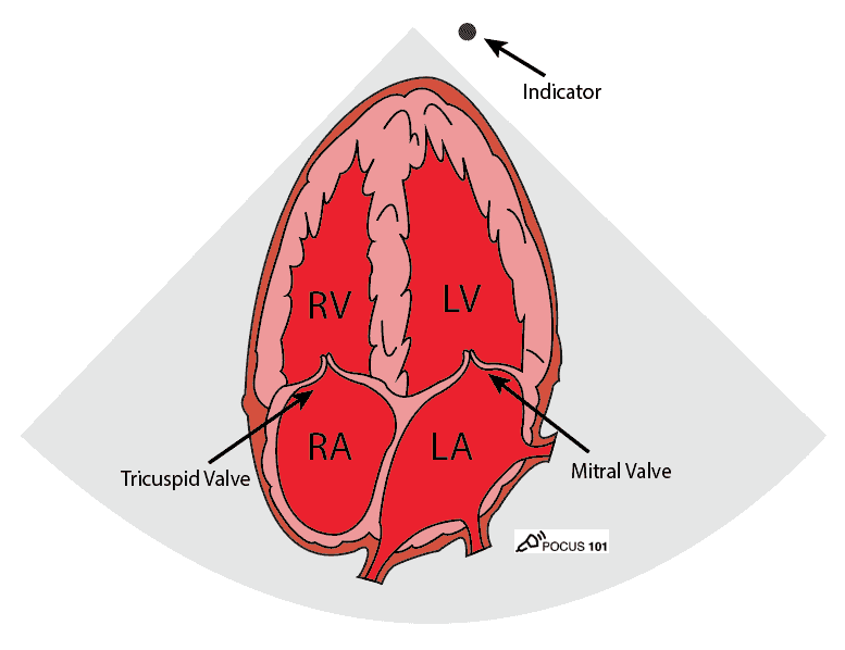 Cardiac Ultrasound Echocardiography Apical 4 Chamber view A4C Illustration